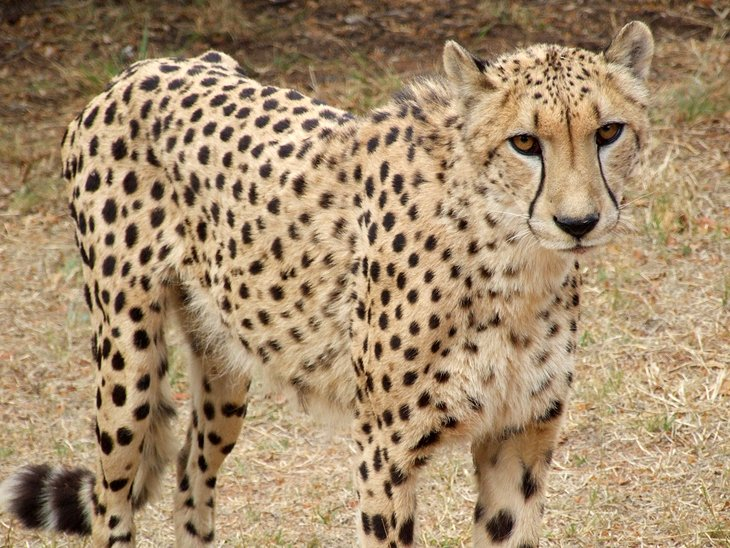 south-africa-pretoria-ann-van-dyk-cheetah-centre